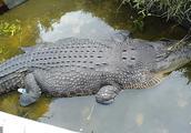印尼食人鳄鱼养殖机构系日本人非法开办,被吃女子本可避免惨剧