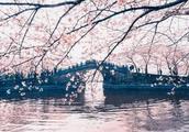 """诗词里的10座""""樱花之城"""",城城秒杀北海道"""