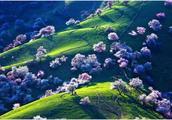 新疆杏花——春日人间仙境,睁眼便是天堂