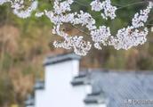 来宏村奇墅湖畔 赴一场春日花开!