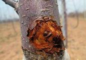 春季,枝干腐烂病频频发生,找对防治方法是关键!