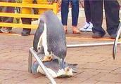 两只企鹅为了小企鹅激烈的争斗,双方实力不相上下