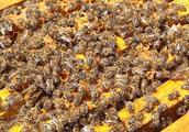 养殖蜜蜂的两种方法,农户应如何选择?专家帮你解答疑问