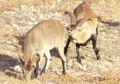 公山羊很喜欢小伙伴,不停的搞小动作来吸引小伙伴注意力