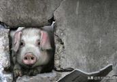 还记得汶川地震猪坚强吗?今年12岁了