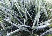 雨雪后小麦会怎样?早春气温变化剧烈,算不算是倒春寒?