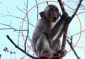 小猴爬到枯树枝上不停地叫喊,是被猴妈欺负了吗?