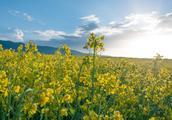 长达5个月的花期,青海湖油菜花再过两个月就开始了