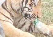 老虎抽搐吐黄水因误食瓶盖?园方:系吐胃中毛发 经查身体健康