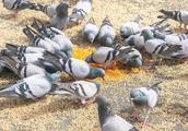 欧洲为什么不能喂鸽子,中国一名游客不停,喂完就后悔了