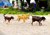 那些被抛弃的狗狗,为了生存下去,时常为抢地盘争斗