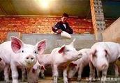 农村个体养殖户不用担心了,禁止农村零散养猪是谣言!