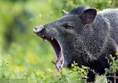 美国野猪泛滥 政府每年损失10亿美元 连枪和飞机都用上了。