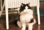 属于十二星座的宠物猫,射手适合养挪威森林猫!