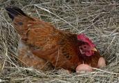 为什么母鸡下蛋后,喜欢大声叫喊?是提醒我们捡蛋吗?