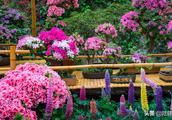 惠山古镇杜鹃花展,这个开着宝塔形状的花可认识