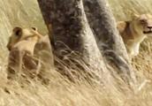 地盘遭外来狮群入侵,老爸关键时候却不在,当地狮群被吓匆匆逃走