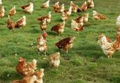 产蛋期饲料与育成期饲料的差异