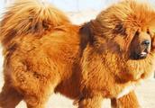 藏獒大战高加索,谁能更胜一筹呢?网友:比特都不敢惹高加索犬