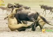 两母狮默契奔跑,一猎物惨被扑倒,一番争斗奄奄一息