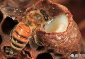 要真正了解蜜蜂,不要被误导,才能养好蜂