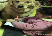 金毛困得眼都睁不开了,还要陪着小主人学习,狗:这届孩子真难带