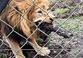 """动物园让游客与狮子""""抢肉拔河""""  人狮大战遭网友炮轰抵制"""