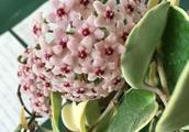 家里养棵爬藤花,光照不好照样长,一开花满屋都是香香的!