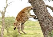 鬣狗站在树下不停傻跳,镜头拉远后才知道在干嘛,实在是太鸡贼了