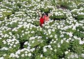 安徽亳州20万亩药牡丹花盛开!