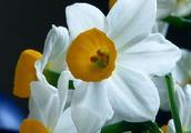 不与百花争艳开,独领淡泊送幽香——水仙花