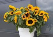 将向日葵养在花盆里也能正常开花,用播种培育毫不费劲