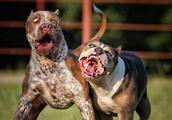 """这5种犬可,被誉为犬中""""战斧"""",其中一种是蒙古獒与藏獒的后代"""