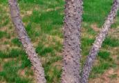 农村这种树满身是刺,以前总被人当柴烧,现在树皮都能卖到50一斤
