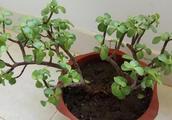 """金枝玉叶""""憋坏了"""",叶子落秃了,这样养护,新枝老枝一起爆盆"""