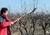 枣树在不同树龄段要进行合理的冬剪!