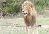 小狮子骚扰狮子爸爸,遭嫌弃!狮爸爸做了什么?