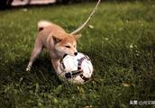 秋田犬为什么在中国这么少呢?