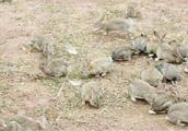 澳大利亚野兔泛滥有上百亿只,没办法只能这么做,中国网友:呵呵