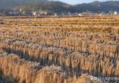 稻田收割后,虾塘内的稻草大面积腐烂?如何挽救?