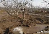 冬春旱冻是引起枝干腐烂病和干腐病流行的主要原因,何时冬灌好?