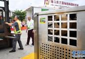 大熊猫首次安家海南岛