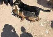 德国牧羊犬听的多了,但是会管理狗群的狗,你有见过吗?