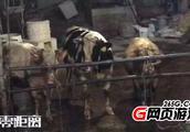安徽一屠宰点曝黄牛12小时注水 连工人都称确实残忍
