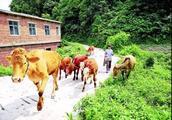 """习水:肉牛养殖让群众生活""""牛""""起来"""