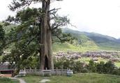 浙江最坚强的树,已经存活了1500年,如今整棵树都绑满了钢筋!