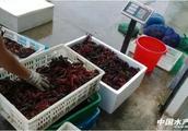 高至三四十元,低至几块钱,小龙虾苗市场水有多深?