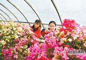 「我和我的祖国」产业工人在临夏县百益现代农业科技有限公司示范园打理花卉