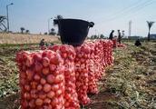 因农药残存超标 沙特宣布禁止进口埃及洋葱