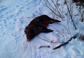 非法捕猎野猪拒不承认 猎狗满嘴猪毛暴露行踪
